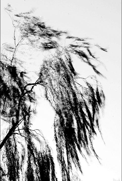 柳树的画法步骤